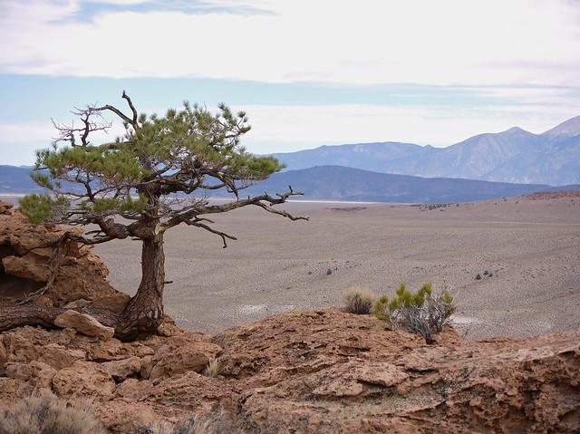 sentinel pine