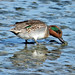 Green-Winged Teal  (explored)
