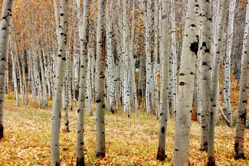 Magical Aspen Grove