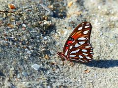 Butterfly. Myrtle Beach, SC.
