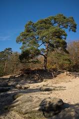 Le pin de la sablière