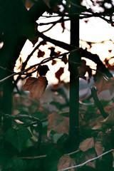 Si sta come d'autunno, sugli alberi, le foglie.