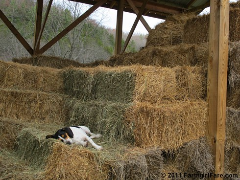 Bert in weekend recovery mode 2 - FarmgirlFare.com