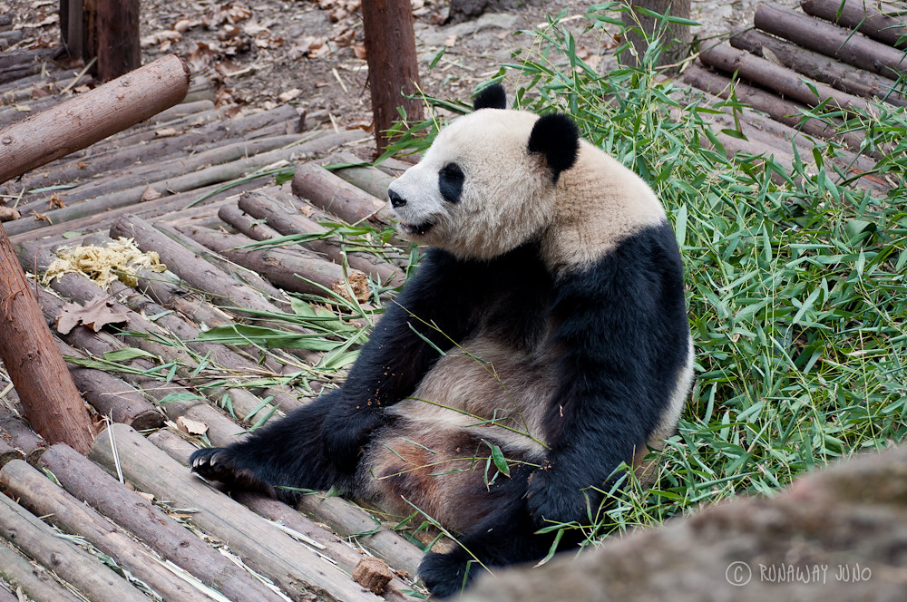 panda_sitting_Chengdu_Sichuan_China