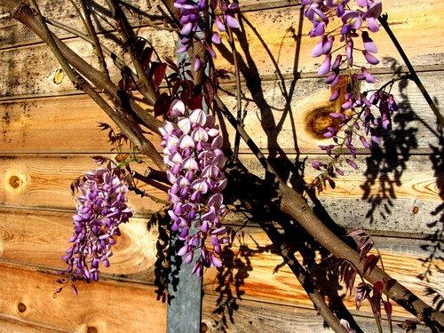 wisteria at the barn