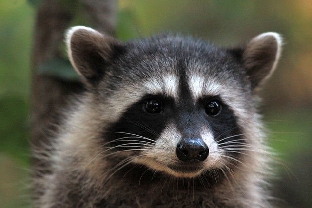 R Is For Raccoon Kit Raccoon - Procyon ...