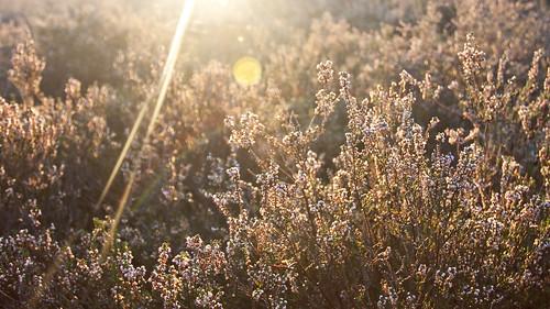 light sunrise heath flare