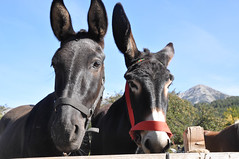 donkey(0.0), mare(0.0), stallion(0.0), mustang horse(0.0), animal(1.0), mule(1.0), halter(1.0), pack animal(1.0), horse(1.0),