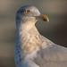 Silfurmáfur (Larus argentatus) - Herring Gull