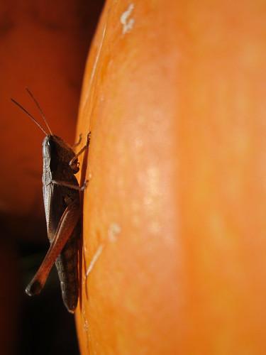 Grasshopper on Pumpkin