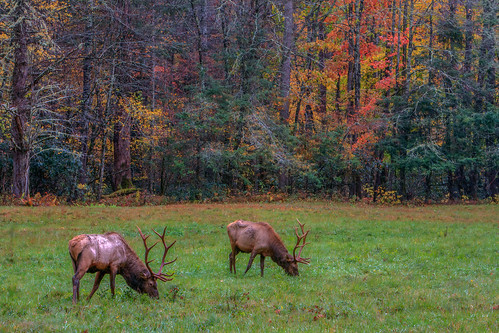 autumn northcarolina elk grazing i40 pigeonriver greatsmokymountainsnationalpark cataloochee balsammountains