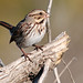 Song Sparrow by NaturalLight