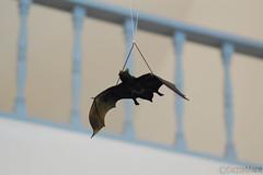 perching bird(0.0), animal(1.0), wing(1.0), bat(1.0), blue(1.0), bird(1.0), flight(1.0),