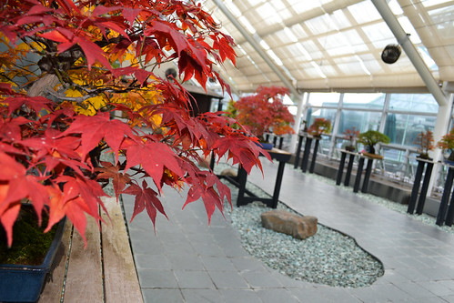 Fall Color in the C.V. Starr Bonsai Museum