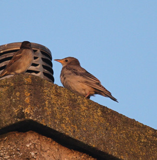 Rose-coloured Starling (juv): Lost in Fife!!