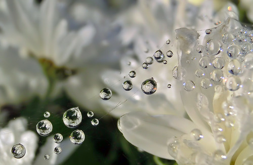 Tropfenseilbahn / Nebelperlen / Fog droplets on white flower