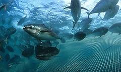 南方黑鮪撈捕配額放寬,真的是因保育成功嗎?2011瀕危物種紅皮書名錄。南方黑鮪魚 (Ian Gordon Auscape International版權所有,IUCN提供)Southern bluefin tuna (Photo © Ian Gordon Auscape International courtesy IUCN)