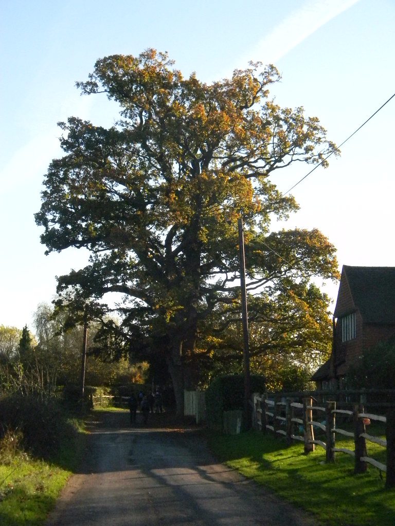 Big tree Cowden (short) Circular