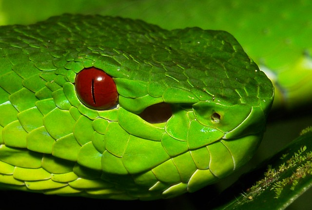 Pit viper snake wallpaper - photo#24