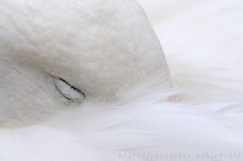 オオハクチョウ [Cygnus cygnus] by necydalis