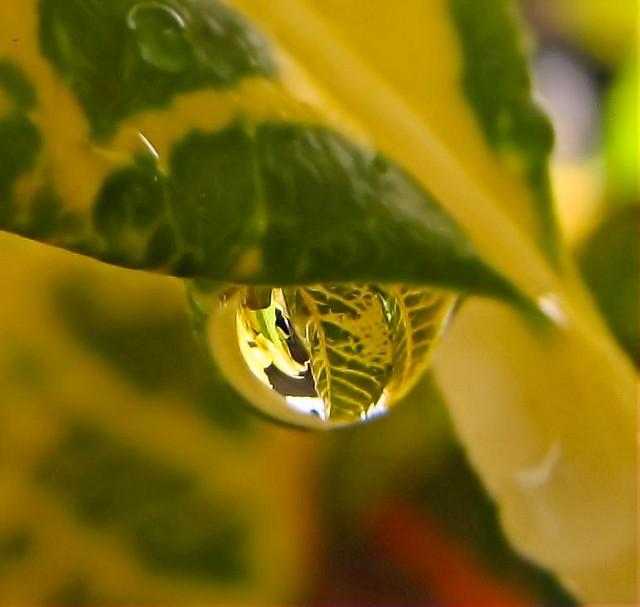 Water drop on Codiaeum variegatum. Leaf