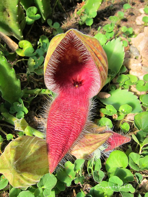 Stapelia grandiflora opening flower and bud