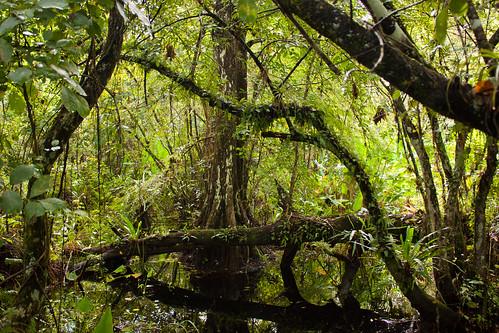 swamp corkscrew