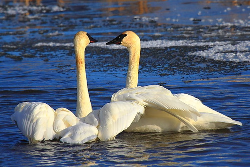 IMG_7049 Trumpeter Swan, National Elk Refuge by ThorsHammer94539