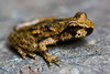 Coastal Tailed Frog - Photo (c) Ken-ichi Ueda, some rights reserved (CC BY-NC-SA)