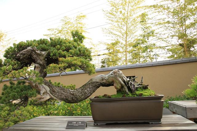 "五葉松 青龍 Goyo-matsu ""Seiryu"" (Japanese Five Needle Pine) - 盆栽美術館 - bonsai museum"