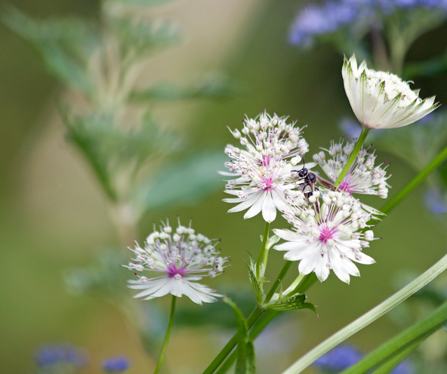 Astrantias and friend