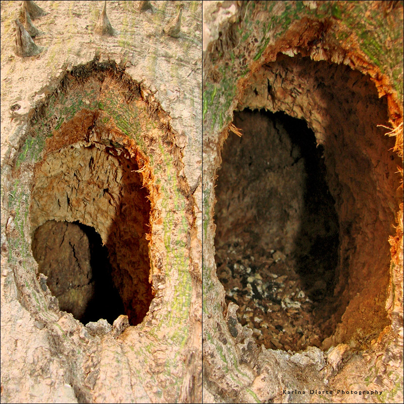 Woodpeckers nest