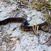 Small photo of Cottonmouth (aka water moccasin) (Agkistrodon piscivorus)