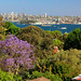 Blooming Jacaranda - View To Fort Denison From Neutral Bay, Sydney