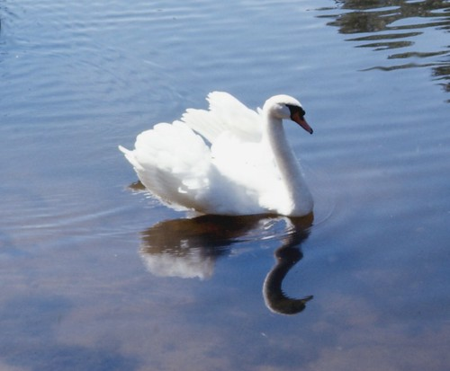 Swan, Stanley Park, Springfirld, MA 1974