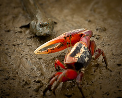 mudskipper vs the fiddler crab - part 1