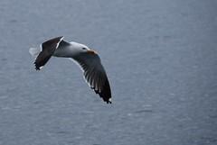 Sea Gulls - Salen Pier - 2