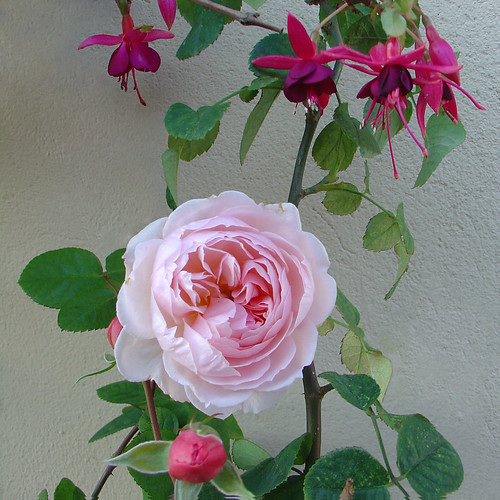 This rose and the fuchsia are still flowering on my balcony! by olga_rashida