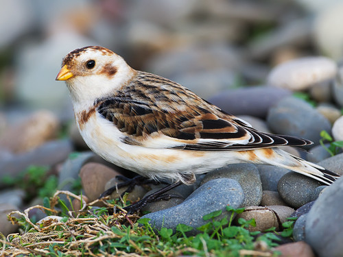 Snow Bunting, Isle of Man