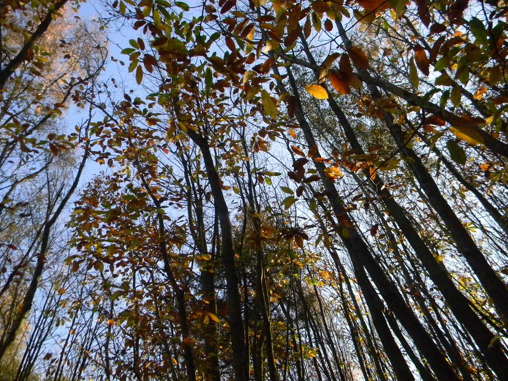 Autumn leaves, blue sky Cowden (short) Circular