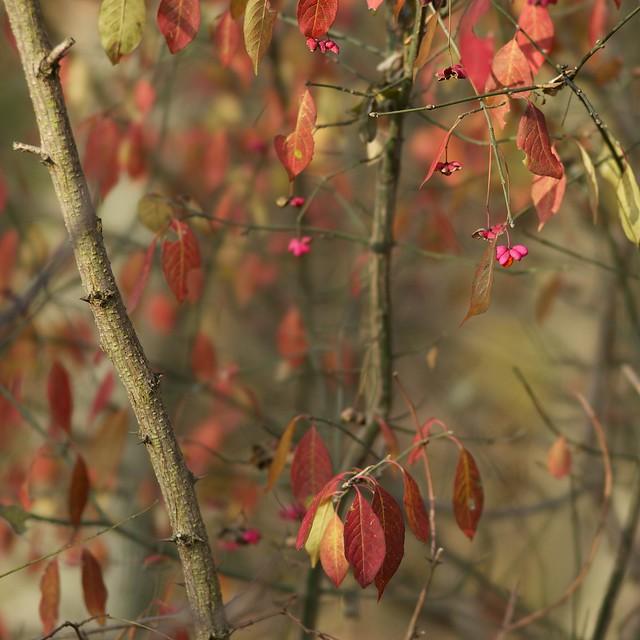 European Spindle Tree - Pfaffenhütchen