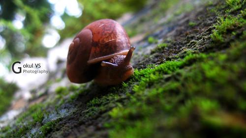 Snarling Snail