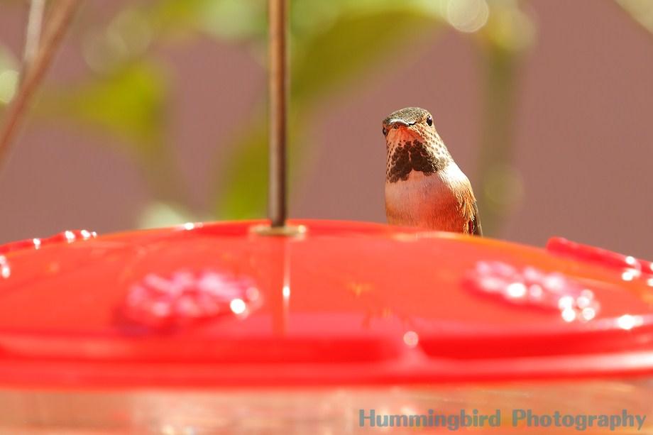 Allen's Hummingbird 112111