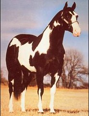 American Paint Horse Piebald