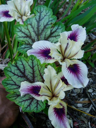 Iris PC hybrid with Heuchera