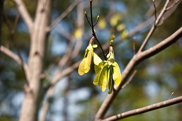 Spring 2012 Maple Tree Helicopters