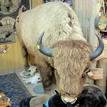 Colorado - Golden: Buffalo Bill Museum and Grave - Buffalo