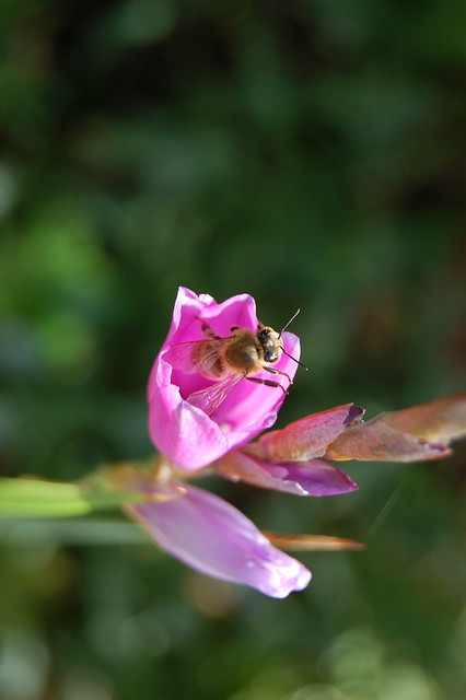 Dierama bee love