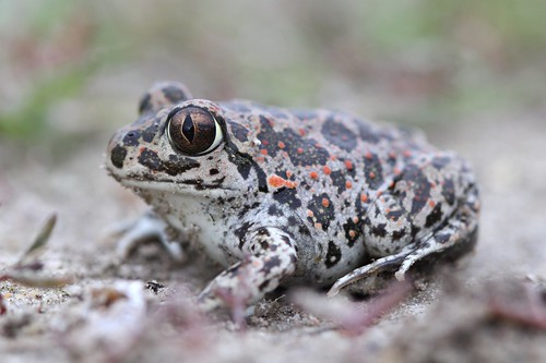 Link to flickr photo of P. syriacus toad