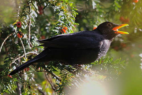 Blackbird, Robert's Park